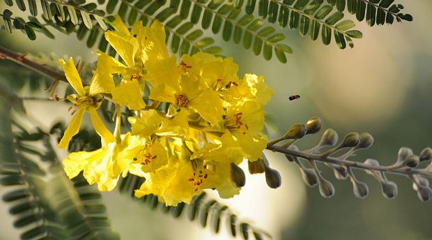 Acacia bloemen