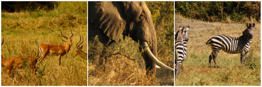 zebra olifant
