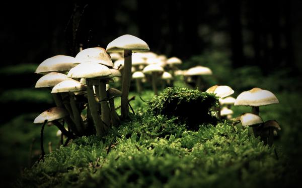 kojic-acid-mushroom