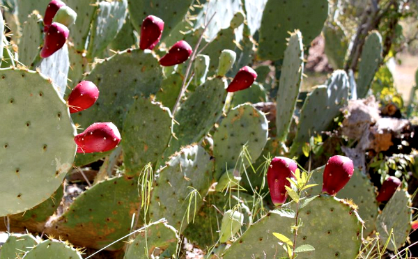 PRICKLY PEAR OIL