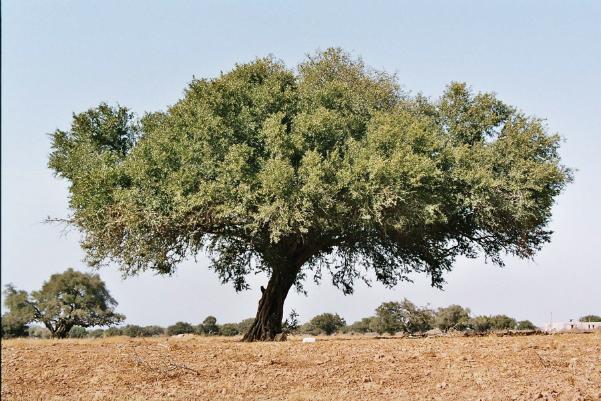 arganboom