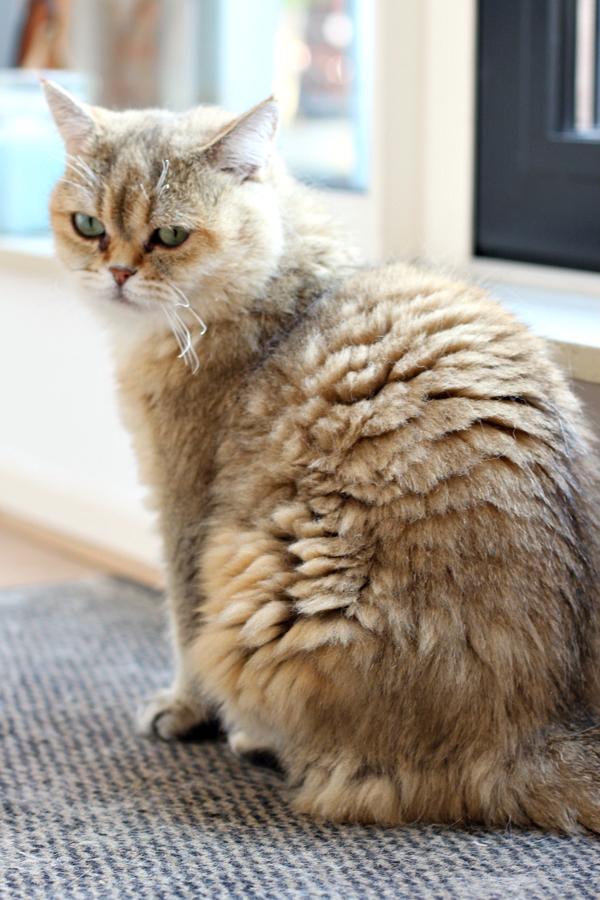 kat zonder haar