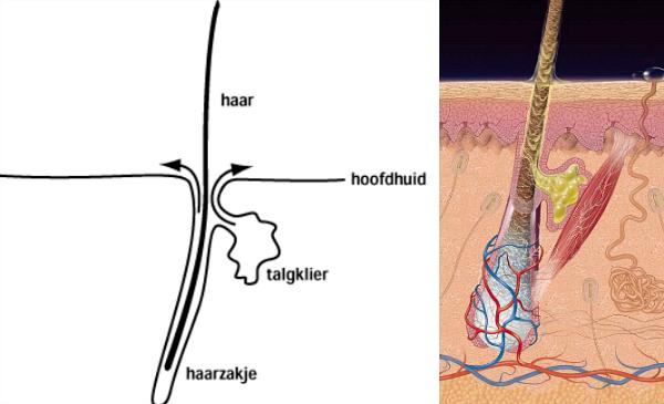 haarzakje talgklier