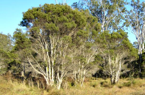 Melaleuca alternifolia tree