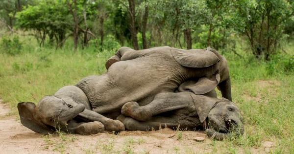 dronken olifanten