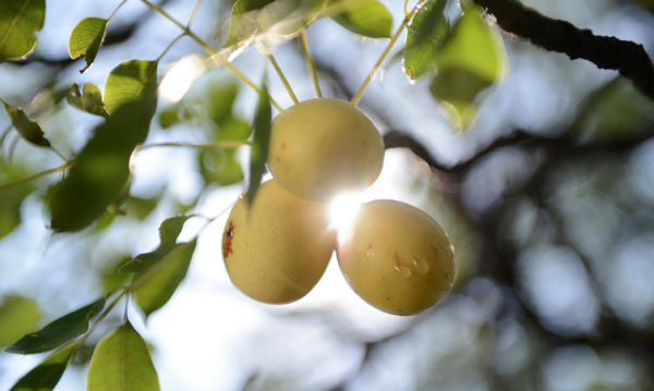 marula fruit in tree