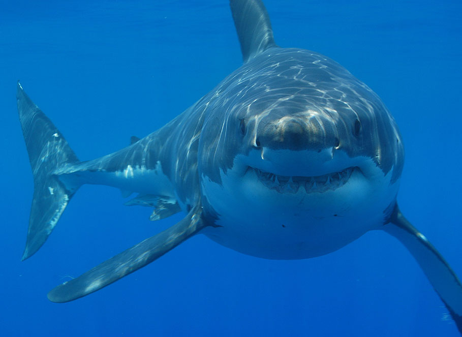 Great_white_shark_south_africa