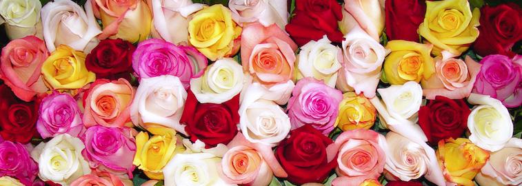 angel-roses