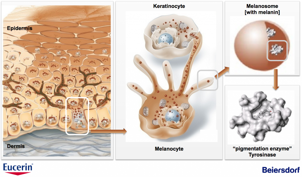 keratinocyte melanocyte